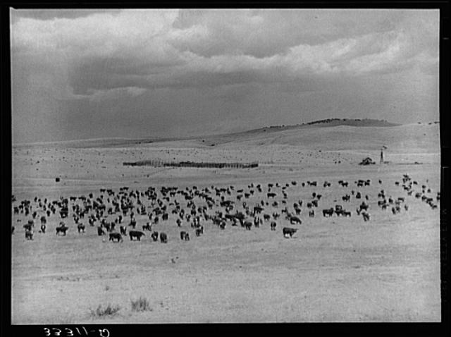 cattle-roundup-texas-ranch