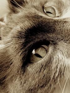 tomcat eyes